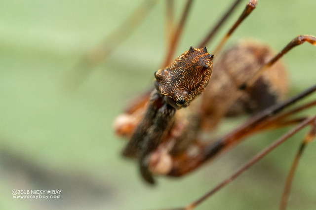 Assassin spider / Pelican spider (Eriauchenius sp.) - ESC_0066