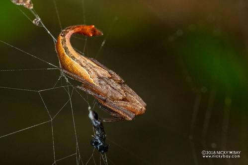 Scorpion-tailed spider (Arachnura sp.) - DSC_9556 | by nickybay