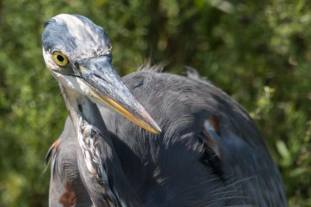 Gret Blue Heron-5