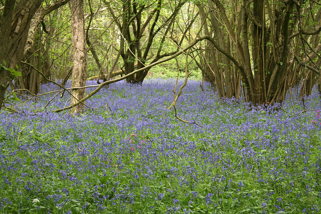 Bluebells in Castle Rising Wood