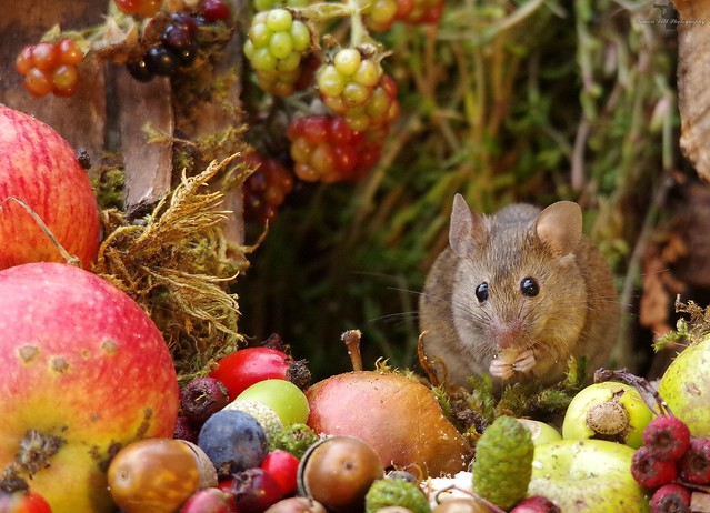 Autumn mouse with fruits and berries (11)