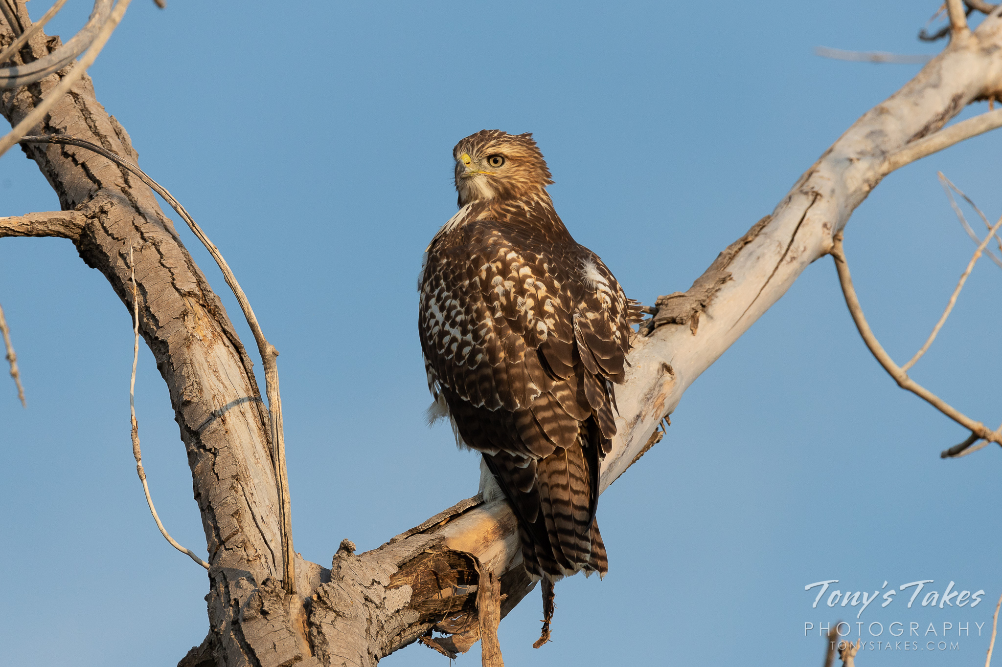A juvenile Red-tailed Hawk keeps watch near Union Reservoir in Longmont, Colorado.   (© Tony's Takes)