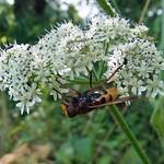 Hornissenschwebfliege (Hornet Mimic Hoverfly, Volucella zonaria)