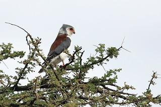 Pygmy falcon | by dmmaus