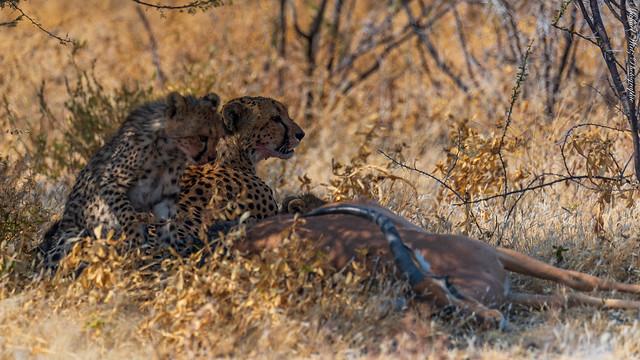 eine kleine Gepardenfamilie mit einem Leckerli im Vordergrund