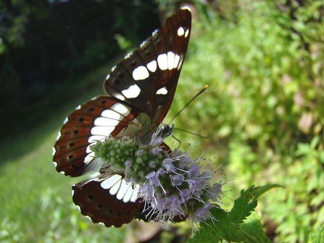 Papillon tricolore sur menthe...