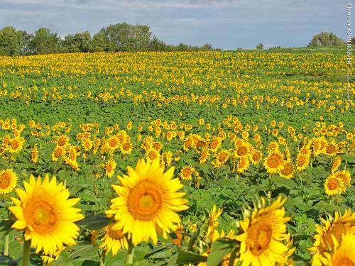 grinterfarms sunflower sunflowers sunflowerfield sunflowerfields kansas leavenworthcounty landscape flower flowers wildflower wildflowers 2018 september september2018 morning bluesky blueskies color colour colors colours nature usa