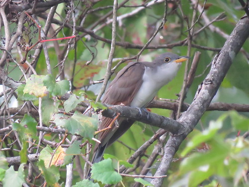 Yellow-billed Cuckoo | by mggoodwin56