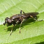Gemeine Langbauchschwebfliege (Common Red Leafrunner Hoverfly, Xylota segnis)