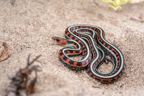 California Red-Sided Gartersnake (Thamnophis sirtalis infernalis) Explored. | by Chad M. Lane