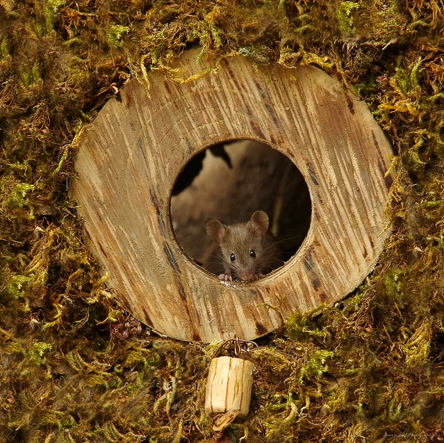 house mouse in log hole (1)