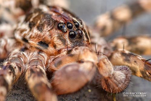 Wandering spider (Vulsor sp.) - DSC_0431b | by nickybay