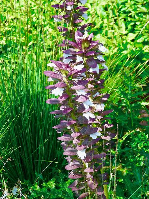 Acanthus flower .