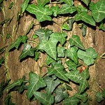 Gemeiner Efeu (Hedera helix) im Schellenberger Wald)