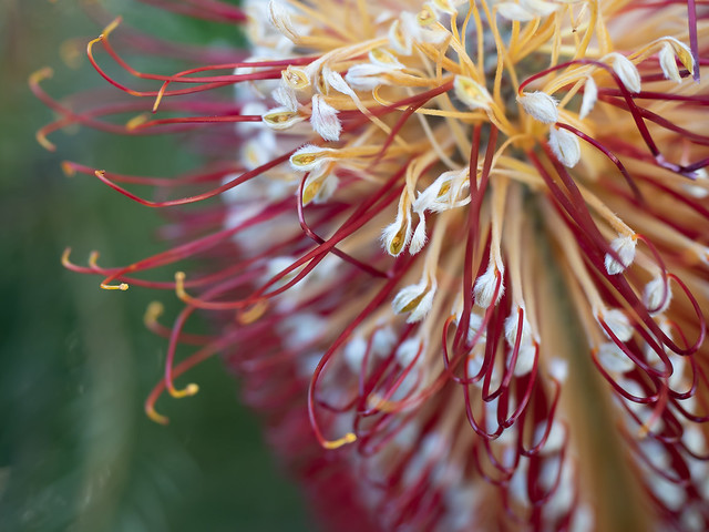 Banksia ericifolia, Melbourne.