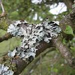 Sulcatflechte (Net-marked Parmelia, Parmelia sulcata)