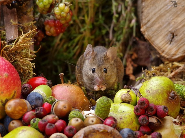 Autumn mouse with fruits and berries (3)