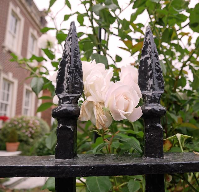 a rose between...261/365