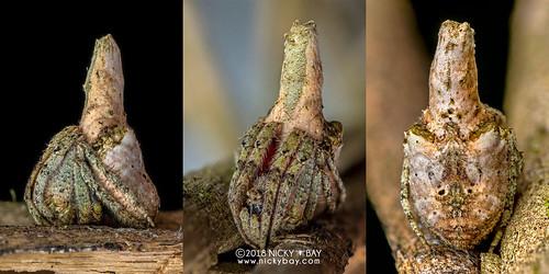 Tree stump orb weaver (Poltys sp.) - DSC_8949x | by nickybay
