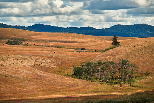 trees birch ranch ranchland merritt britishcolumbia canada can cows cattlecountry nicolavalley kamloops landscape colour color