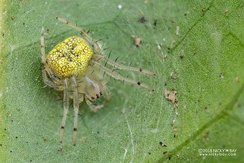 Big-jawed spider (Tetragnathidae) - DSC_2402 | by nickybay