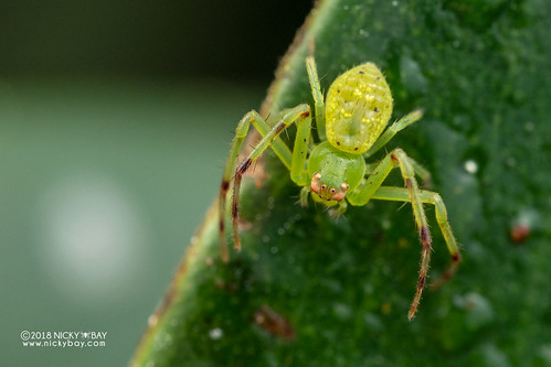Crab spider (Diaea sp.) - DSC_2317 | by nickybay
