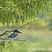 Flickr photo 'Belted Kingfisher (Megaceryle alcyon) in Bald Cypress (Taxodium distichum)' by: Mary Keim.