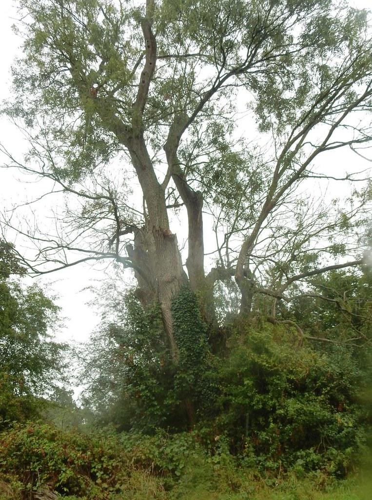 Ash tree (turn right at) Wanborough to Godalming