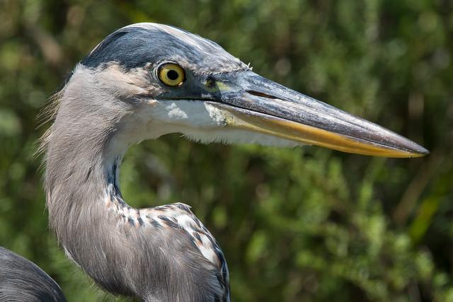 Gret Blue Heron-4