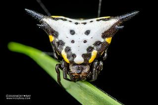 Spiny orb weaver (Acrosomoides acrosomoides) - DSC_9881 | by nickybay
