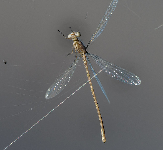 Spreadwing (cf. Spotted Spreadwing, Lestes congener). Lestidae.