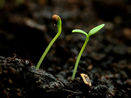 macro coat seed emergence seedlings seedling germination nikoncoolpix995 testa commonchickweed caryophyllaceae dicot stellariamedia cotyledon seedcoat dicotyledons