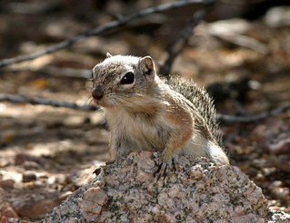 Harris' Antelope-squirrel | by cotinis