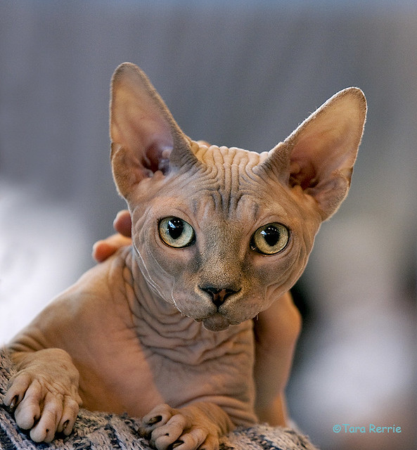 toulouse sphynx