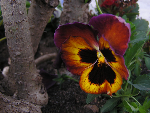 Telde flores 07 Isla de Gran Canaria