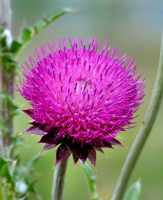 Tövis virág