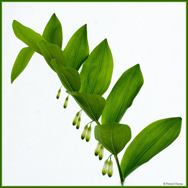 Solomon's seal - sceau de Salomon.