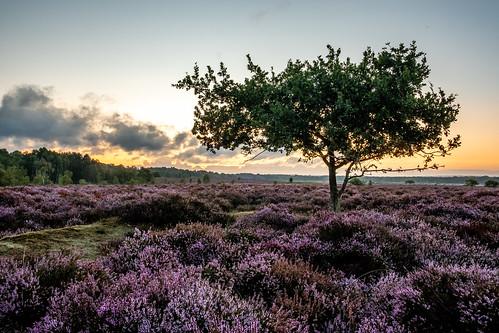 flowers fuji fujifilm hdr heather norfolk norfolkwildlifetrust pink purple roydoncommon sunrise tree xt2