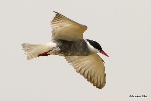whiskeredtern tern chlidoniashybrida bird birds birding markuslilje ethiopia awassa africa africanriftvalley