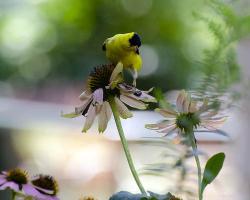 goldfinch2 | by Chris Garrity