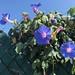 Blue Belles by Robem