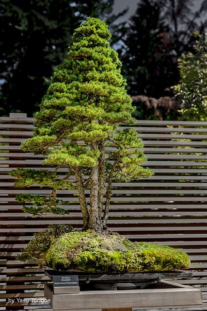 Bonsai at Portland Japanese Garden, Portland OR USA-14