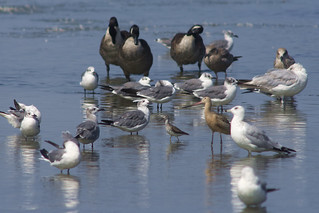 Gulls, Geese, Yellowlegs & Young Marbled Godwit | by 9brandon