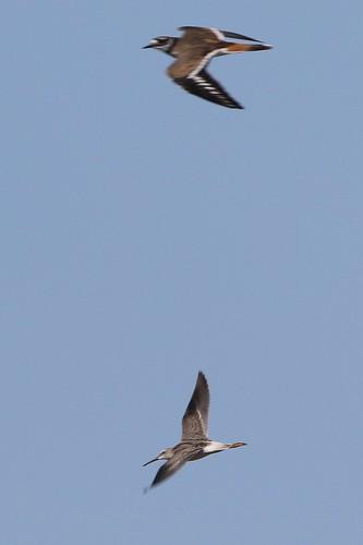 kevinlucas stiltsandpiper yakimacountyrarebird yakimacountywashingtonus grandviewwtf shorebird calidrishimantopus killdeer charadriusvociferous sky flightshot