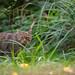 Wildkatze by FotografieDanielZiegler