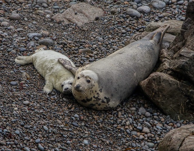 Mother and pup Grey Seal at Martins Haven. It was great to go on a field trip with uni to observe and record these guys!