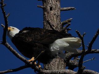 october 2 2018 15:24 - Eagle in The Babysitting Tree | by boonibarb