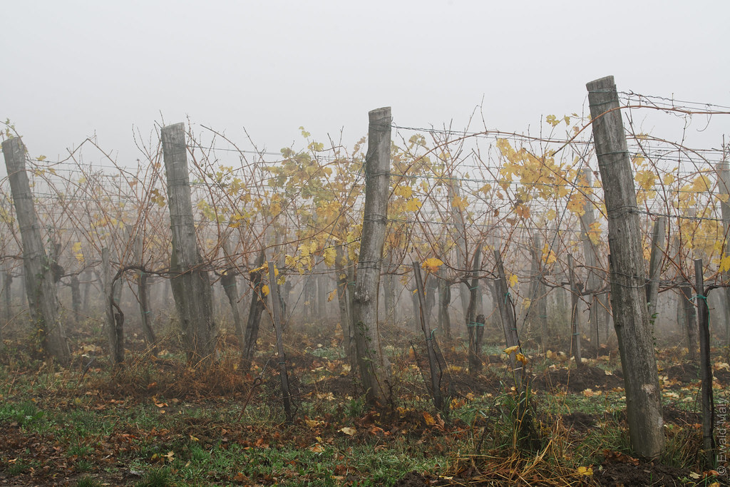 Foggy vineyard in Grinzing/Vienna