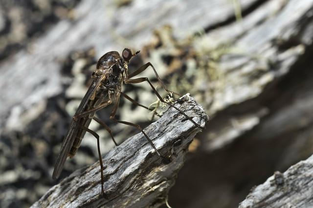Boreoides tasmaniensis ♂ (Stratiomyidae)