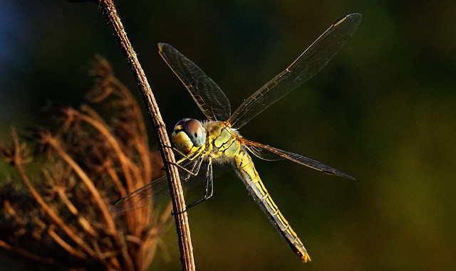 Dragon-Fly (Macro)